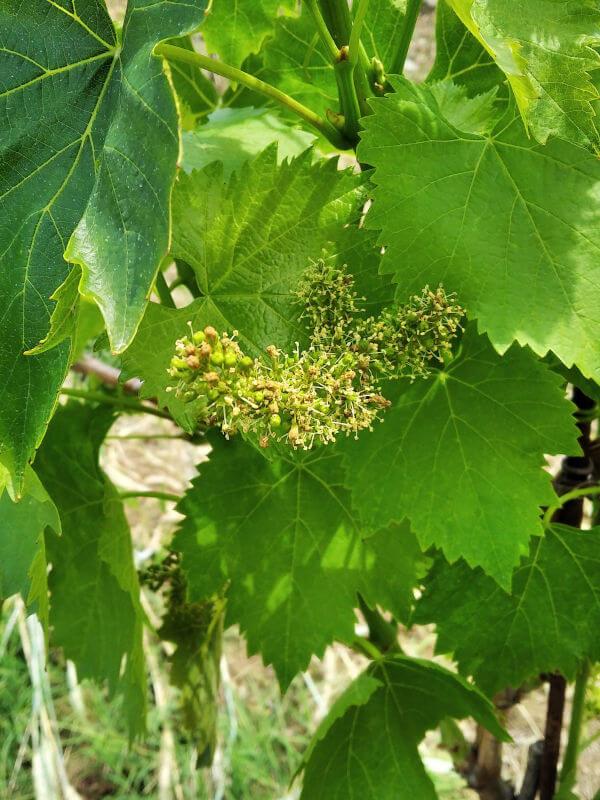 Castello di Radda, vineyard Sangiovese grape vine flowering