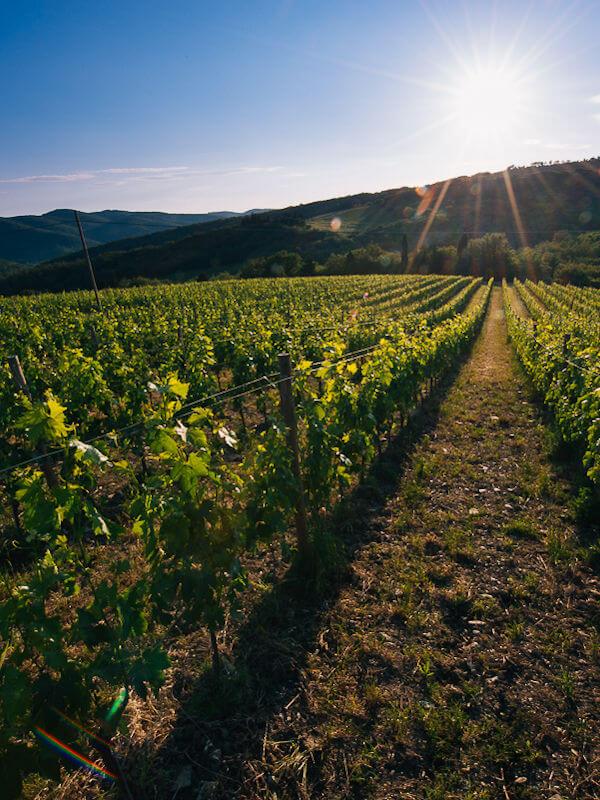 Castello di Radda vineyard, Sangiovese grape vines