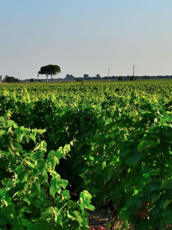 Vineyards of Negroamaro grapes of Feudi di Guagnano, in Puglia Italy