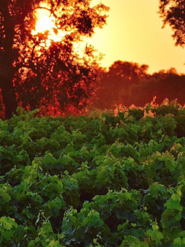 Sunset over vineyards of Primitivo (Zinfandel) grapes of Feudi di Guagnano, in Puglia Italy