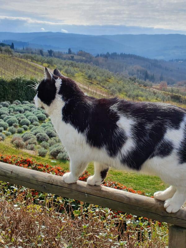 Cat at Cagliole veneyard in Panzano, Chianti Classico
