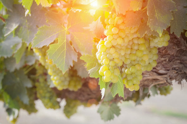 Vineyard with beautiful grapes in sunset