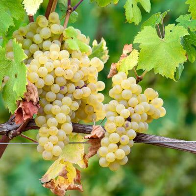Arneis white grape in Roero, Piedmont in Italy