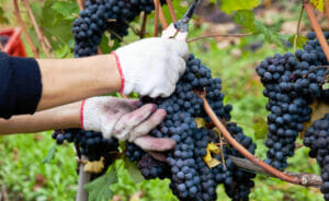 Hand picking harvest of ripe Nebbiolo grapes in Barolo DOCG area