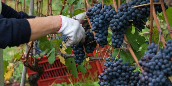 Harvest of Nebbiolo grape in Barolo area in Piedmont