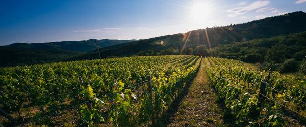 Il Corno vineyard of Castello di Radda Chianti Classico, Tuscany, Italy