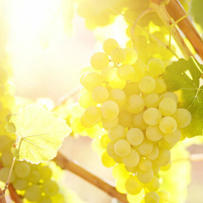 Ripe green grapes in a vineyard to produce refreshing white wine