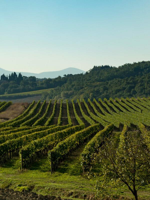 Vineyard of Ridolfi di Montalcino2