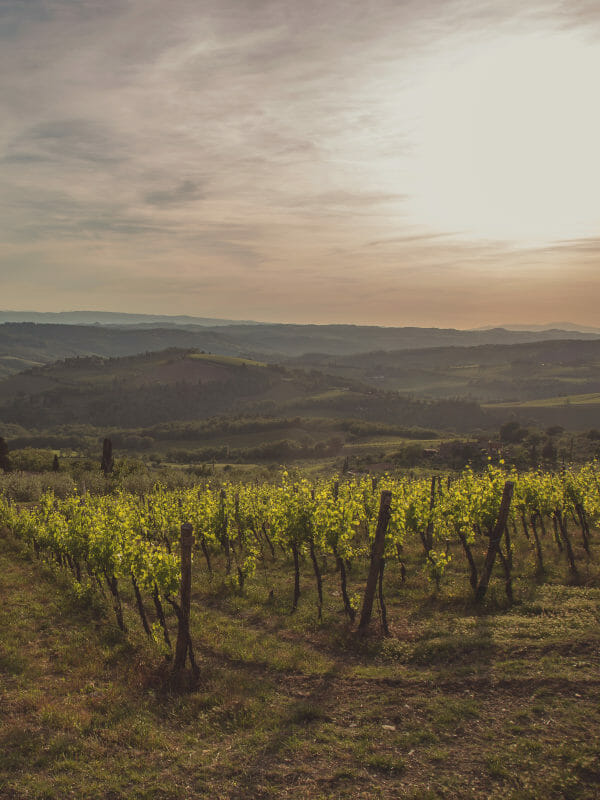 Vineyard of Gagliole in Panzano in Chianti, Tuscany Italy