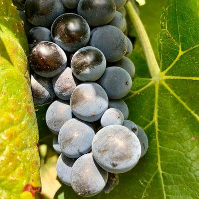 Nero d'Avola grape
