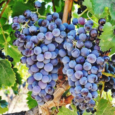 Cannonau di Sardegna grapes on the vine - Siddura vineyard, Sardinia, Italy