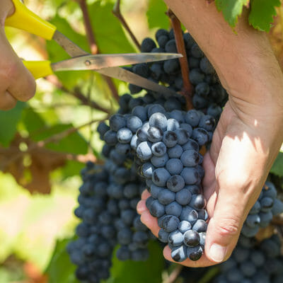 Farmer harvesting Primitivo grapes in Puglia, south-east Italy