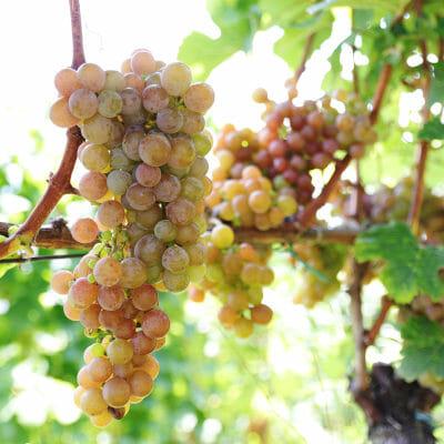 Gewurztraminer grapes on the vine, in Kurtatsch cru in Alto Adige, Italy