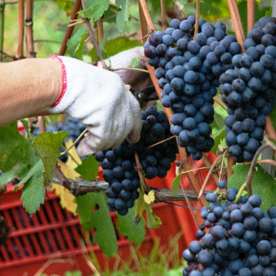 Harvest of Nebbiolo grapes in the Barbaresco DOCG winemaking area, Piedmont, Italy