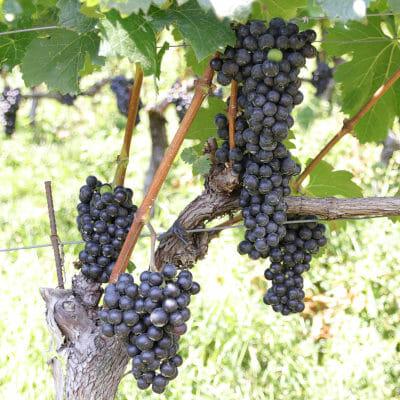 Merlot grapes on the vine in an Alpine vineyard in Alto Adige, Italy