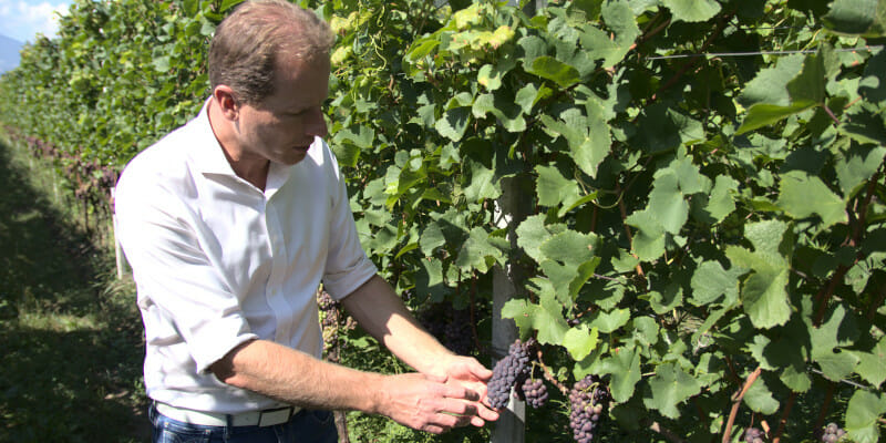 Peter Zemmer holding a bunch of Gewurztraminer grapes in Giatl vineyard, Alto Adige
