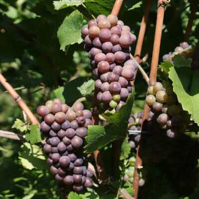 Pinot Noir grapes in a vineyard of Peter Zemmer in Alto Adige DOC, Italy