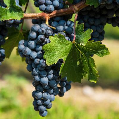 Ripe Cabernet Sauvignon grapes on the vine