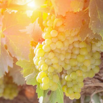 Ripe chardonnay grapes on the vine