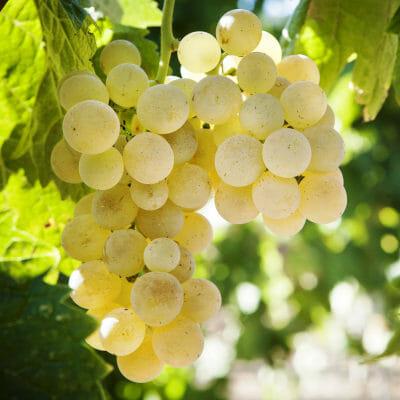 Vermentino grapes on the vine - Siddura vineyard, Sardinia, Italy