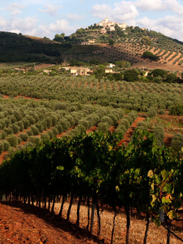 Close-up view of vines on red soil in Villa Pinciana, Maremma Toscana DOC, Tuscany, Italy
