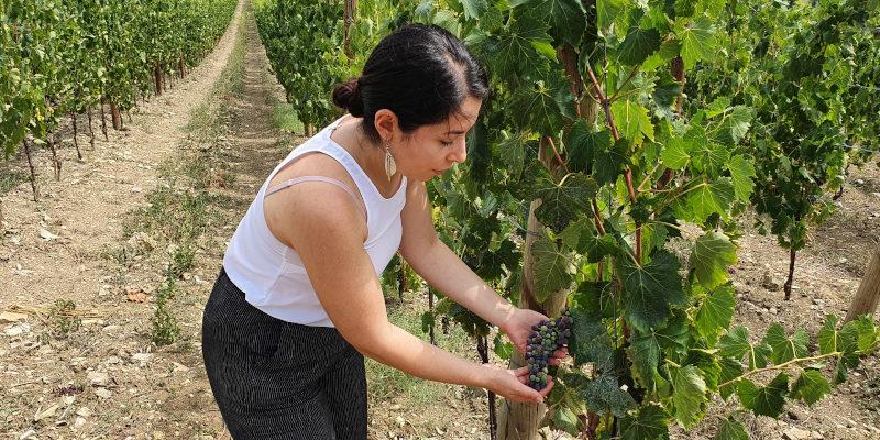 Eleonora Maoddi, assistant winemaker at Castello di Radda, is showing Sangiovese grapes in their vineyard in Radda in Chianti, Chianti Classico DOCG