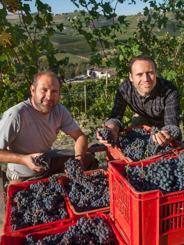 Winemakers Fabrizio and Mario Francone in their vineyard, harvest of Nebbiolo grapes