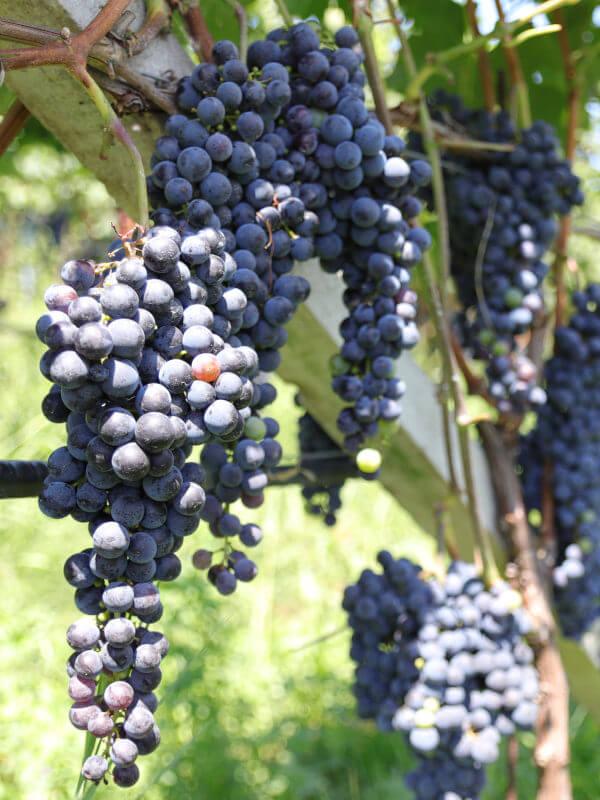 Black grapes in Kurtatsch vineyard, Alto Adige DOC, Italy