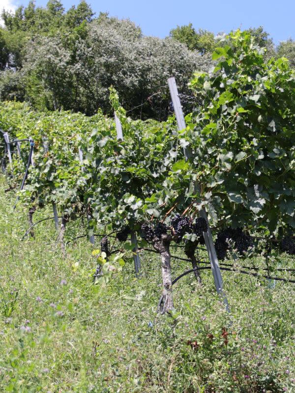 Brenntal vineyard, Kurtatsch, Weinstrasse, Alto Adige DOC