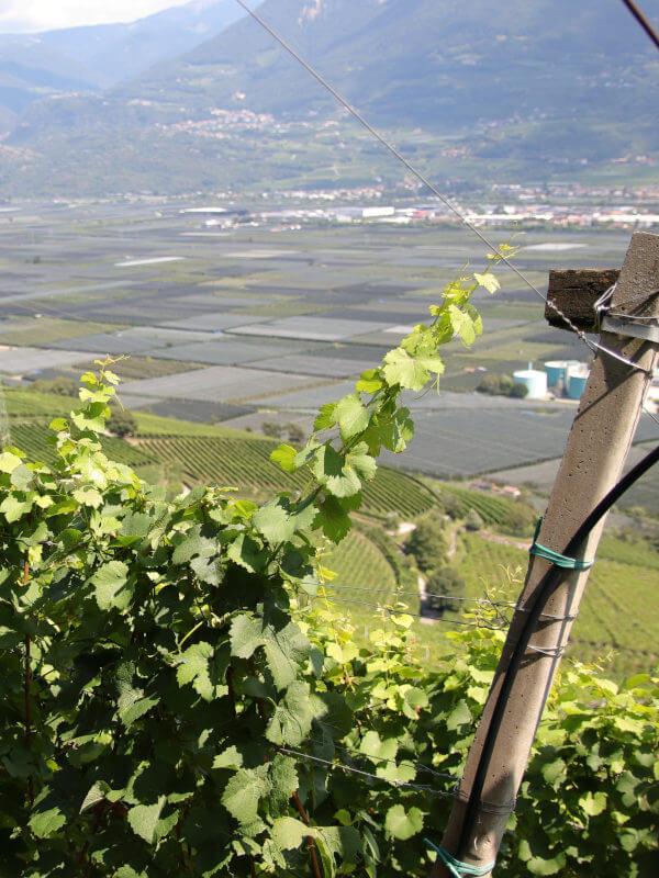 Gewurztraminer vineyard in Kurtatsch village in Alto Adige DOC, Italy