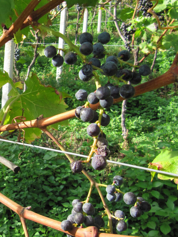 Half-dried (passito) Moscato Rosa or Rosenmuskateller grape on the vine, Kurtatsch winery, Alto Adige