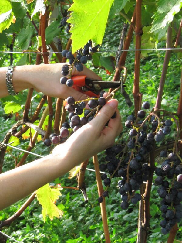 Harvest of passito half-dried Moscato Rosa or Rosenmuskateller grape, Kurtatsch winery, Alto Adige, Italy