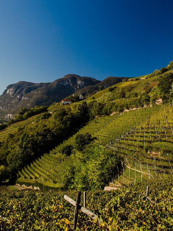 Brenntal Cru, vineyard of Cantina Kurtatsch, Alto Adige DOC, Italy