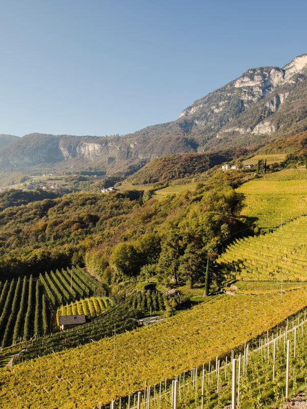 View of Alps and vineyards of Moscato Rosa or Rosenmuskateller grapes, Kurtatsch winery, Alto