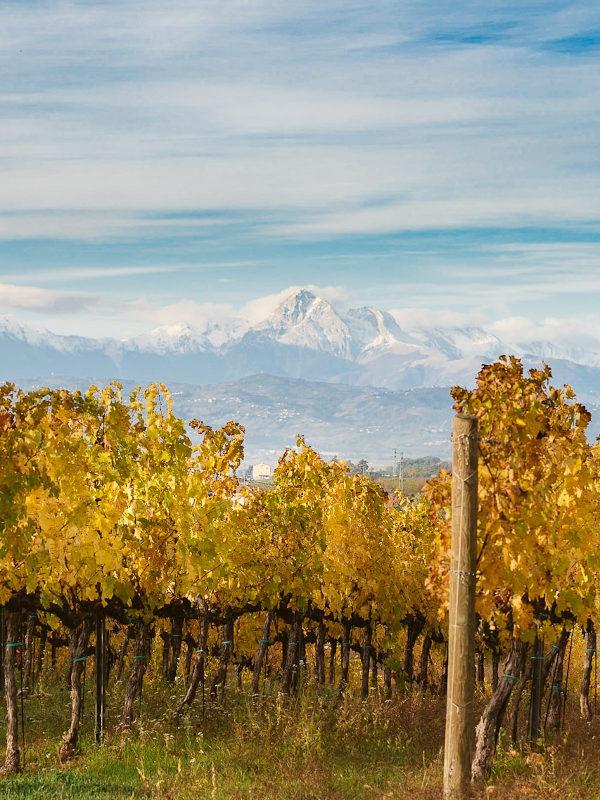 Vineyards at the Orlandi Contucci Ponno winery, Montepulciano d'Abruzzo