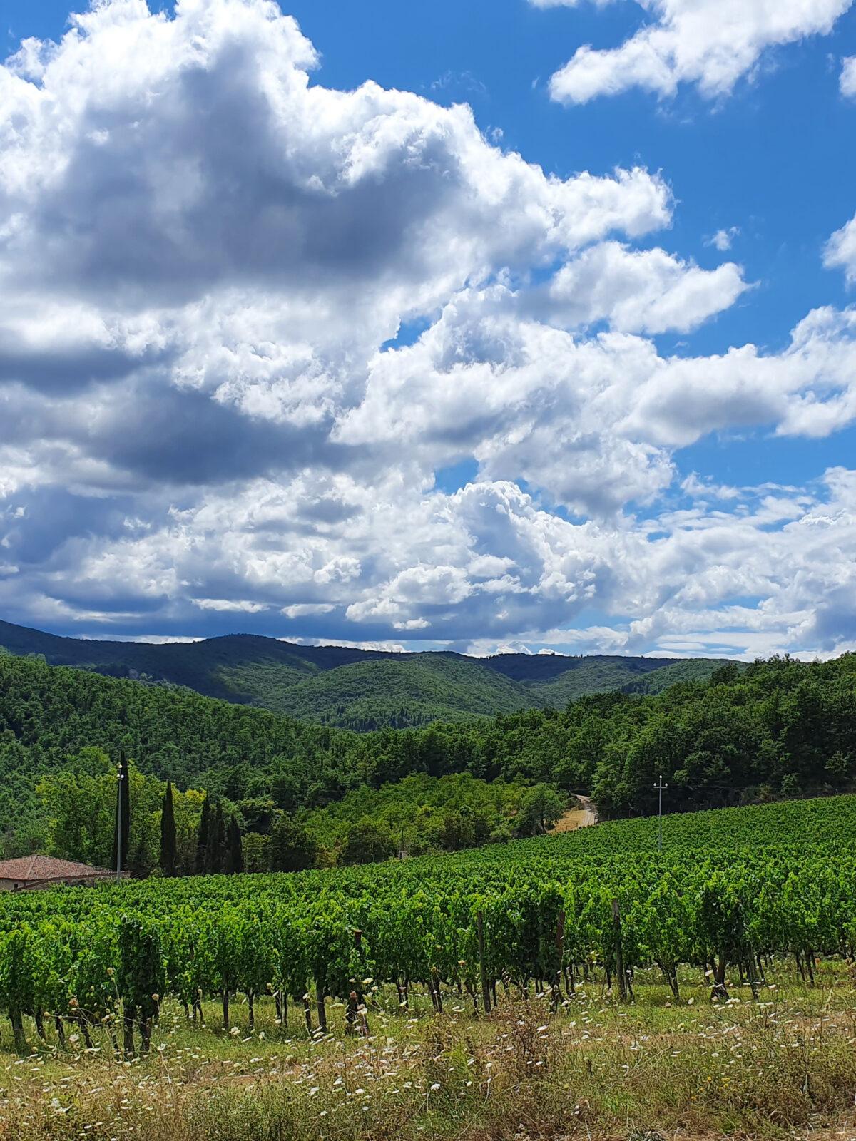 Vineyards of Castello di Radda, Radda in Chianti, Chianti Classico area, Tuscany