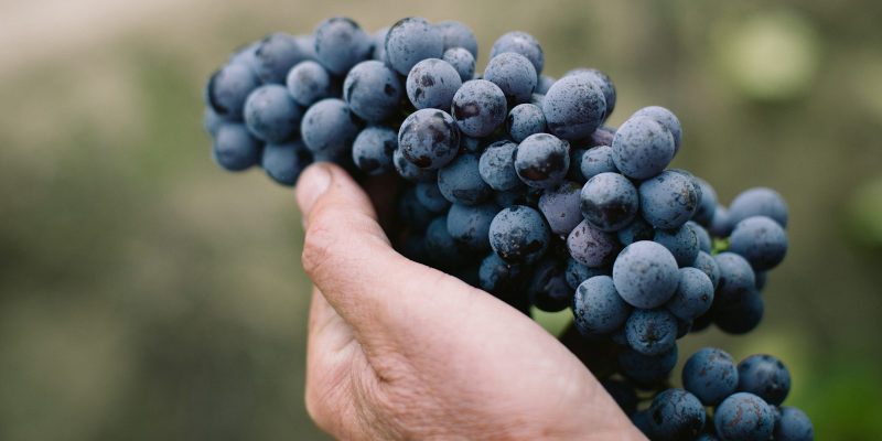 Hand holding Nebbiolo grapes