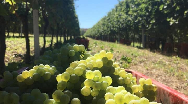 Harvested Arneis grapes in basket in a vineyard in Vezza d'Alba, Roero DOCG