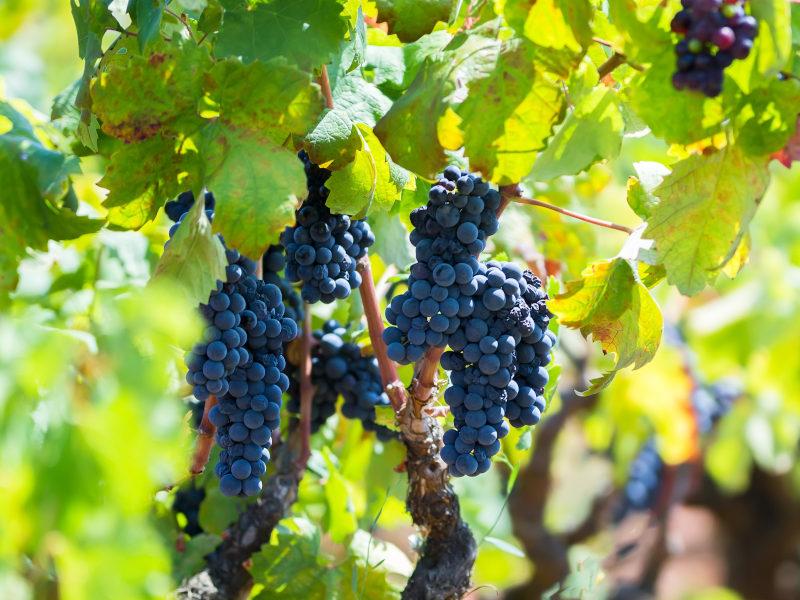 Ripe Primitivo grape on the vine in Primitivo di Manduria DOC, Puglia, Italy