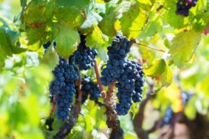Primitivo grape ripe on the vine in Salento IGT, Puglia, Italy