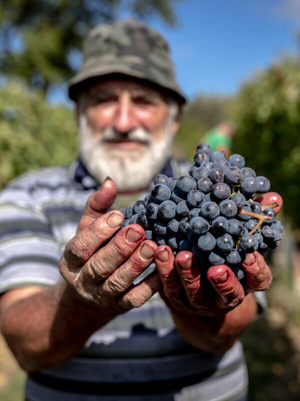 Farmer holding ripe bunch of Montefalco Sagrantino grapes during harvest at the Fratelli Pardi winery