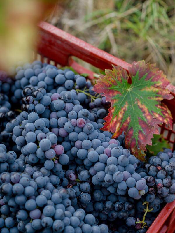 Harvested Montefalco Sagrantino grapes, Fratelli Pardi, Montefalco