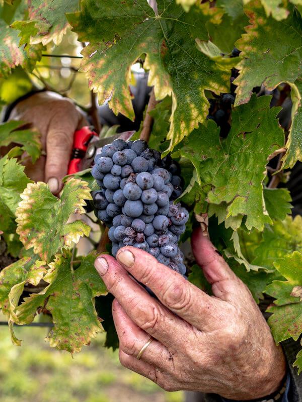 Manual harvesting of Montefalco Sagrantino grapes, Fratelli Pardi, Montefalco