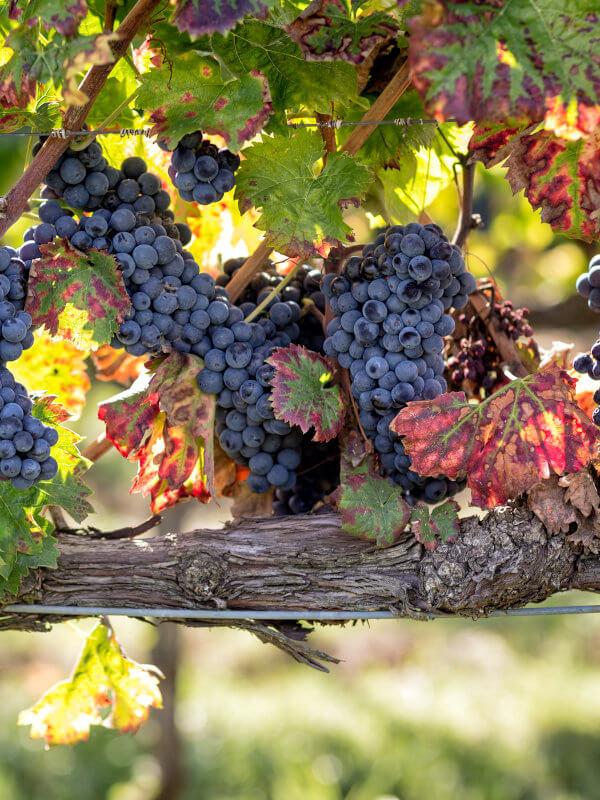 Ripe Sagrantino grapes, Fratelli Pardi winery, Montefalco Umbria