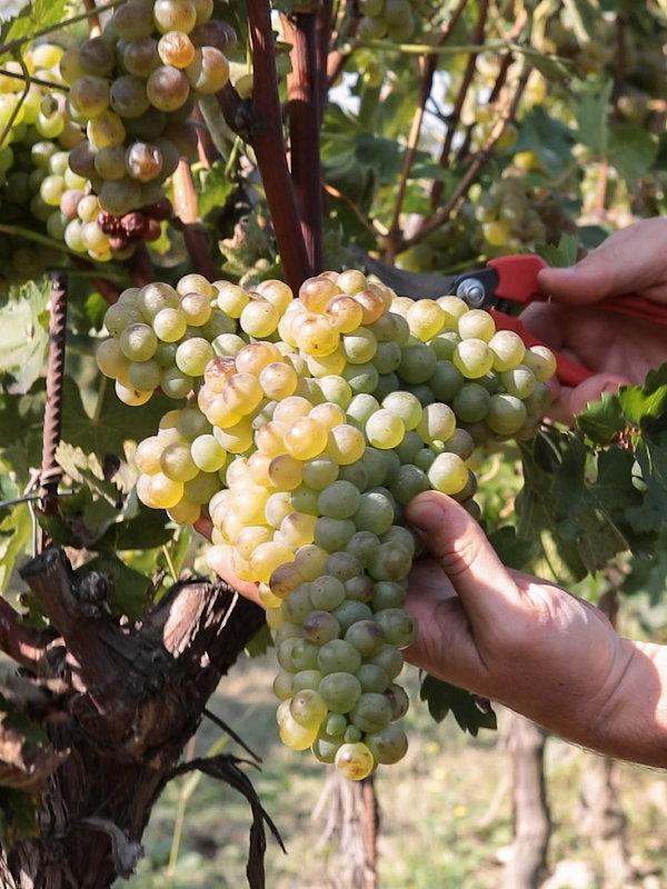 Turbiana (Trebbiano di Soave) grape in Le Morette vineyard in Lugana DOC