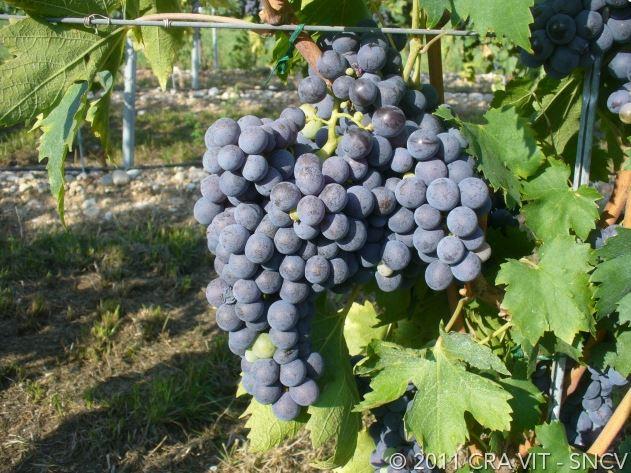 Corvinone grape bunch