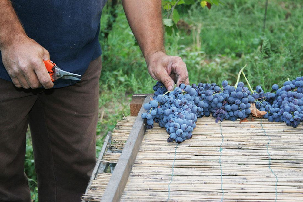 Man laying bunches of Corvina grapes on table with bamboo sticks after harvest