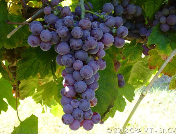 Molinara grape bunch