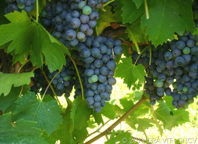 Oseleta grape bunch