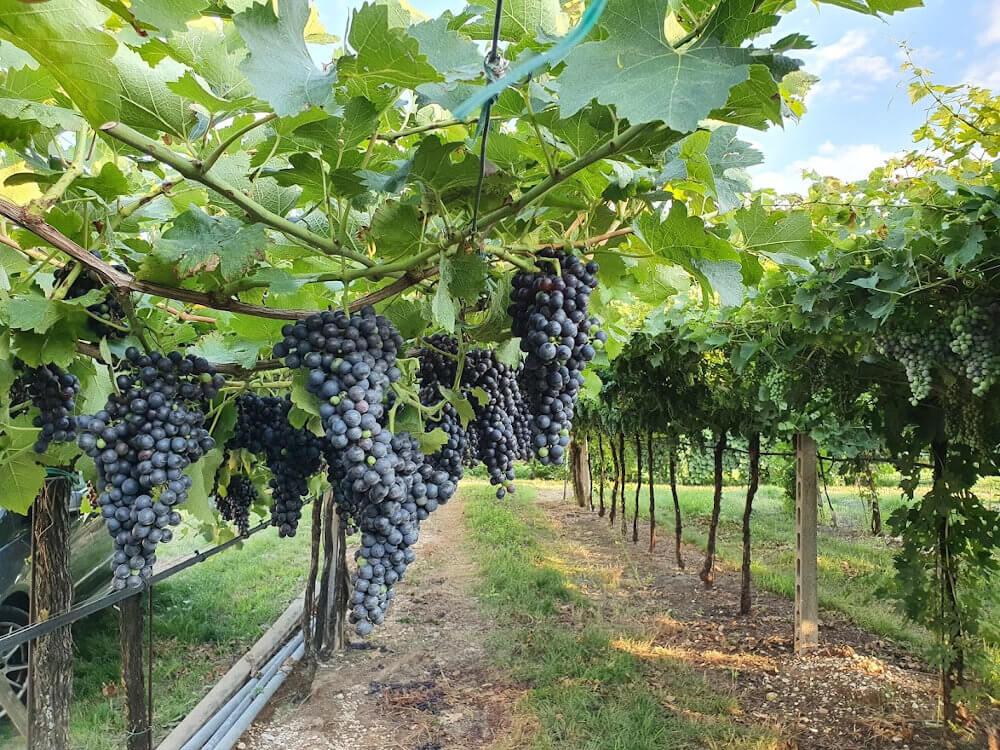 Vines planted on Pergola Veronese in a vineyard in Valpolicella Classico